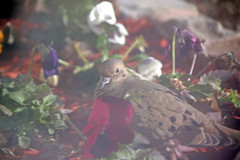 Photo Challenge, 32 of 365 (McKenzie's Photography) Tags: life flower bird home nature outside bed texas mourning natural outdoor sleep dove tx wildlife flock rest aviary rockwall