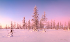 winter panorama landscape with snow covered trees (czdistagon.com) Tags: wood morning travel blue winter light sunset sky panorama sunlight white snow cold tree texture ice nature beautiful field weather rural forest sunrise season landscape dawn evening countryside frozen cool frost day branch view russia outdoor snowy background north scenic free frosty scene wilderness northern blizzard larch spruce climate czdistagont2821