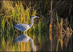 Grey Heron (John R Chandler) Tags: uk bird heron unitedkingdom ardeacinerea coventry westmidlands warwickshire greyheron brandonmarsh warwickshirewildlifetrust