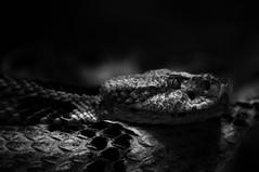 230/365 snake (sullivanj487) Tags: shadow blackandwhite white black monochrome animal zoo nikon snake monochromatic scales 365 d5000