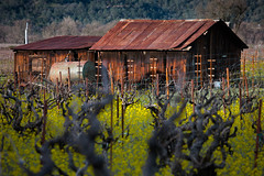 05Feb2016.jpg (blazo666) Tags: barn vineyard rust grapes mustard 366