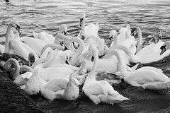 Feeding Time (Alec King) Tags: nature beautiful birds river blackwhite swan wildlife riversevern swans worcestershire bewdley