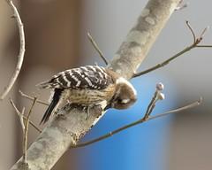 Japanese Pygmy Woodpecker (myu-myu) Tags: bird nature japan nikon d800 japanesepygmywoodpecker wildbird  dendrocoposkizuki  afsnikkor300mmf4epfedvr