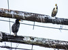 Great Cormorants at Jordan Harbour (tuijapauhu) Tags: canada bird nature wildlife shipwreck stcatharines waterfowl naturephotography greatcormorant phalacrocoraxcarbo jordanharbour lagrandehermine