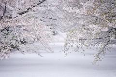 (shoshibata) Tags: japan spring aomori   sakura hirosaki