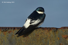 White-winged Swallow 12756gb