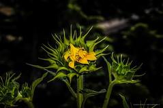 Florir.... (mauroheinrich) Tags: flowers flores verde colors brasil cores nikon natureza flor nikkor nikondigital riograndedosul detalhes girassol nikonians ibirub nikonprofessional nikonword mauroheinrich