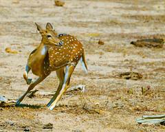 Will I ever be free.... EXPLORED !! (29 Feb 2016) (Dunstan Fernando) Tags: nature nikon action wildlife deer yala dunstan yalanationalpark srilankanwildlife d7000 srilankanature srilankanspotteddeer srilankanaxisdeer srilankanationalparkyala axisdeeratyalanp