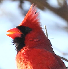 Cardinal Song (carolesong) Tags: cardinal