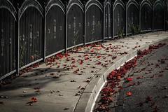 Autumn Leaves (Abel AP) Tags: urban usa fall leaves fence fremont autumnleaves neighborhood sidewalk abelalcantarphotography