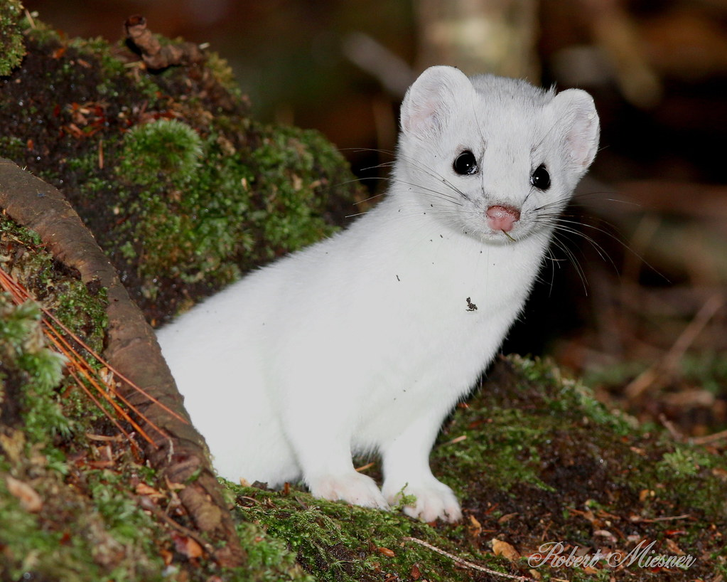 The World 39 s Best Photos of ermine and weasel Flickr Hive