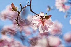 Backlit Magnolia (brev99) Tags: flower tree branch bokeh magnolia backlit springblossom gilcreasemuseum d7100 sigma70mm28macro nikoutputsharpener dxofilmpack5