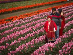 (bluechromis1) Tags: pink red rows tulip fields multicultural woodburn culturaldivesity woodenshoetulipfestivaloregon