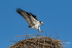 Osprey returns from Home Depot sequence - 13 of 27