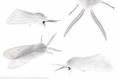 Spilosoma composite (Andrew Snyder Photography) Tags: white moth arctiidae tigermoth onwhite myn spilosoma fieldstudio meetyourneighbours