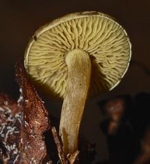 Amber disc cap lemon yellow crazy gill mushroom Pluteus species Airlie Beach rainforest P1370340 (Steve & Alison1) Tags: beach mushroom yellow amber crazy lemon rainforest cap species disc gill airlie pluteus