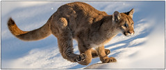 cougar cub 005 (josefontheroad) Tags: bestcapturesaoi elitegalleryaoi