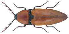 Elater ferrugineus Linnaeus, 1758 (urjsa) Tags: england insect europa europe britain beetle insekt kfer coleoptera kaefer elateridae ferrugineus elater taxonomy:order=coleoptera taxonomy:family=elateridae geo:country=england coleopteraus taxonomy:species=ferrugineus taxonomy:binomial=elaterferrugineus taxonomy:genus=elater elaterferrugineus