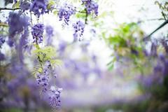 (Jill-Wang) Tags: leica flowers 50mm spring purple bokeh taipei noctilux wisteria m9