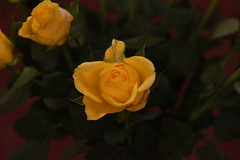 DSC_0796 (PeaTJay) Tags: flowers roses plants macro nature rose gardens fauna reading flora sigma indoors micro closeups berkshire rosebuds lowerearley nikond750