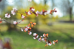 plum branch (chris2116) Tags: spring blossoms plum floweringplum