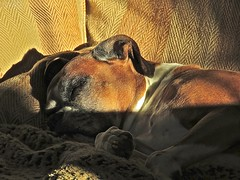 Snooze! (Deepgreen2009) Tags: sleeping dog pet cute home sofa snooze boxer relaxed repose trixy