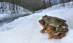Italy, hot frogs (Vittorio Ricci (THANKS+++2.3 MILLIONS VIEWS)) Tags: ranatemporaria europeancommonbrownfrog ranarossa ranamontana ranaalpina