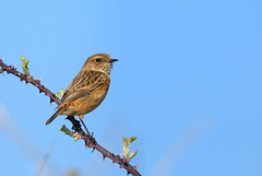 Stonechat (BBurke88) Tags: ireland galway nature birds wildlife conservation stonechat