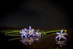lying (Fay2603) Tags: flowers blue light orange brown black reflection green nature wet water drops blossom background lila vase stalk glas hintergrund schwarzer