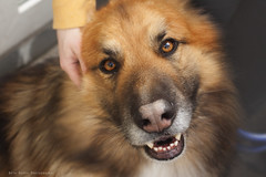 Max (elizabethanneduffy) Tags: family ireland dog pet silly love beautiful face animals fun happy soft fuzzy fluffy excited friendly breed alsatian