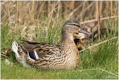 moedereend (HP010379) (Hetwie) Tags: bird nature duck natuur mallard eend vogel wildeeend moedereend brouwhuis