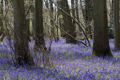 Into The Woods (steven.kemp) Tags: trees bluebells woods purple norfolk hockering