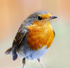 """""""Rocky"""". (mortimer.adrian) Tags: red colour detail bird eye nature robin animal spring outdoor feathers"""
