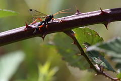 035A1830 (damianbuck54) Tags: orange white black wasp blackberry legs spots ichneumon thorns creamspottedichneumon echthromorphaintricatoria