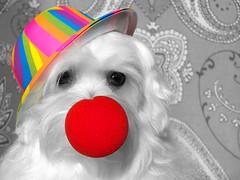 0837 - Col cappello (Diego Rosato) Tags: pets dogs hat nose fuji clown gimp desaturation kira animali cappello x30 naso cani desaturazione