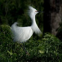 Snowy Egret (Melis J) Tags: bird florida snowyegret egrets