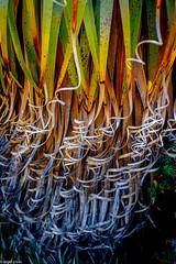 Pandanni (niggypops) Tags: mountain forest awesome tasmania endemic cradle angiosperm pandanni xt1 daywalk richea pandanifolia 165528wr