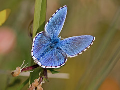 Adonis blue Polyommatus bellargus (normanwest4tography) Tags: blue male nature wings adonis adonisblue canon300f4 canon7d