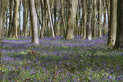Bluebells (roger_forster) Tags: wood trees bluebells woodland outdoors spring hampshire winchester beech micheldever hyacinthoidesnonscripta