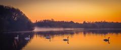 5 swans (jasonhudson2) Tags: trees colour water sunrise dawn swan fujifilm pennington xt1