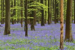 IMG_5663 (ruiterde) Tags: blauw belgium belgie halle hyacinth hallerbos sprokkjesbos