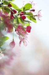 pink bokeh (eva vee) Tags: morning pink plant flower tree nature fleur leaves petals spring flora dof blossom bokeh outdoor pastel rosa bloom buds blume fiore morgen baum appletree apfelbaum frhling loodus appleblossom kevad zart apfelblte