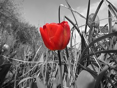 Red tulip (Frans Schmit) Tags: red tulip mygarden tulp mijntuin wonderfulworldofflowers