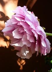 pivoines roses (peltier patrick) Tags: flowers flower macro fleur rose fleurs plante garden petals berry jardin petal printemps ptale pivoine pivoines ptales fleursroses pivoinearbustive peltierpatrick