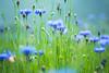 Colors of Spring (Art Fiveone) Tags: leica japan spring bokeh summicron 日本 花 shizuoka flowerfields 風景 izu 春 静岡 伊豆 色 matsuzaki ボケ 花畑 松崎町