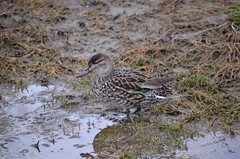 In the Muck (Neal D) Tags: bird duck bc teal surrey crescentbeach greenwingedteal anascrecca blackiespit