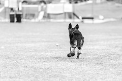 Artoo - 19.5 weeks (MorboKat) Tags: park dog pet toronto cute monochrome animal mammal spring outdoor shepherd canine germanshepherd alsatian animalia mammalia carnivore dsh gsd germanshepherddog purebred schferhund canis carnivora canislupus domesticdog canisfamiliaris canidae bergerallemand purebreed canislupusfamiliaris deutscherschferhund purebreddog alsatianwolfdog