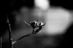 Tristesse printanire 1 (Pierre Fauquemberg) Tags: blackandwhite bw nature fleurs nikon noir noiretblanc sigma sombre printemps spleen plantes tristesse douleur lesfleursdumal phmre monotonie sigma35mmart sigmaart35mm14 pierrefauquemberg