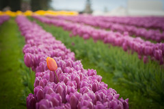 Tulips! Tulips! Tulips! (EdBob) Tags: tulips tulipflowers skgitvalleytulipfestival colorfultulips tulipfield tulip flowers flower spring springtime skagitvalley skagitcounty skagit mtvernon purple orange yellow color colorful tourism washingtonstatetourism washington washingtonstate westernwashington nature outdoors usa america field fields edmundlowephotography edmundlowe travel allmyphotographsare©copyrightedandallrightsreservednoneofthesephotosmaybereproducedandorusedinanyformofpublicationprintortheinternetwithoutmywrittenpermission agriculture agricultural wwwedmundlowephotocom