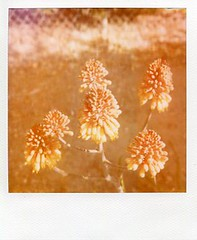 They Grow Unnoticed Next to the Sewer (deep_blue_sea_1956) Tags: flowers nature carlsbad expiredfilm polaroid600film polaroidslr680 roidweek2016 polaroidweek2016